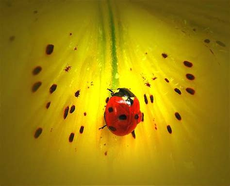 where to find ladybugs in your backyard the ladybug a wanted visitor for your garden lena b designs
