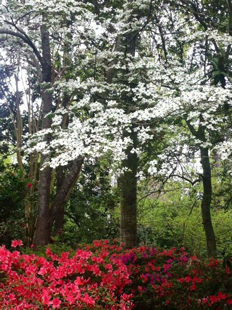 dogwoods and azaleas bayou bend gardens houston texas