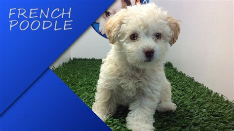 small toy french poodle mini toy cafe www pixshark com images