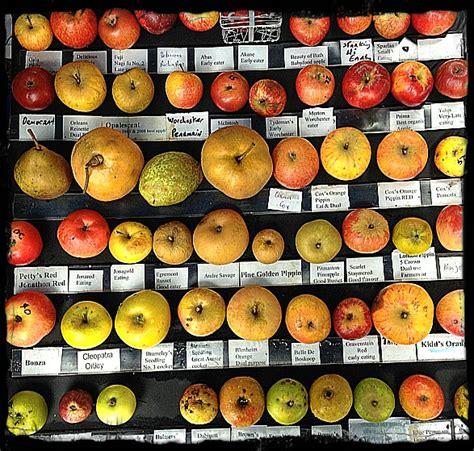 apple varieties 10 best images about apple varieties cultivars on