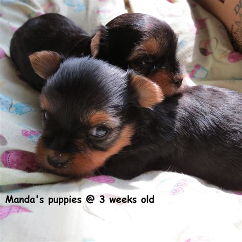 yorkie puppies 3 weeks 26 best images about ballard acres yorkies on yorkie track and pictures of