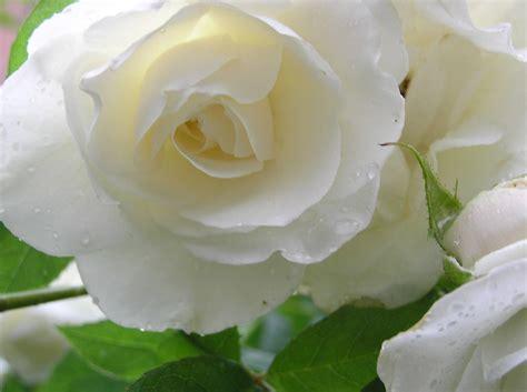 wallpaper 3d rose free roses wallpapers wallpaper cave