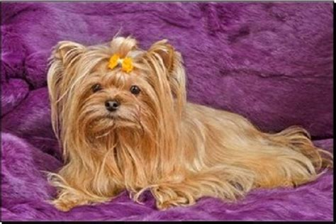 curly haired yorkie terrier blond photos hairstylegalleries