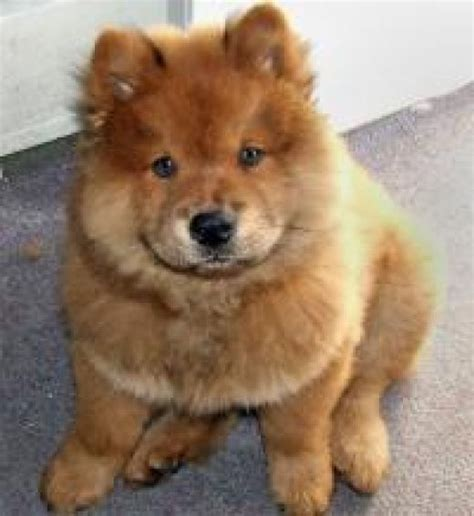 yorkie chow puppies 1000 images about corgi chow mixes on chow chow chow chow dogs and corgis