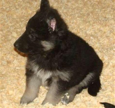 german shepherd puppies for adoption german shepherd puppies for adoption for sale adoption from batangas batangas city