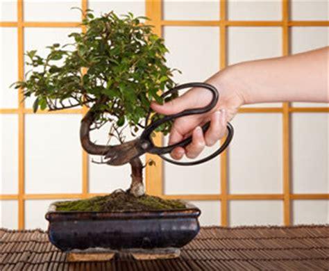 Wie Pflege Ich Einen Bonsai 3816 by Bonsai Grundlagen Pflege Und Schneiden