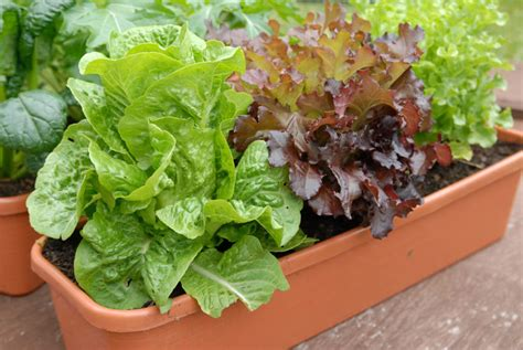 grow lettuce  pots  containers plant instructions