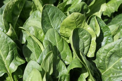 images free spinach picture free photograph photos domain