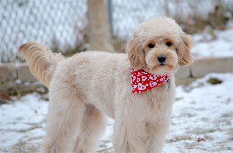 cheap haircuts montreal pictures of goldendoodle haircuts choice image haircuts
