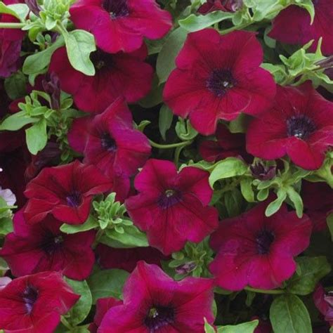 17 best ideas about petunia plant on pinterest indoor pots and planters eclectic indoor