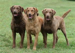 chesapeake bay retriever colors pin by destiny deloss on g wants a