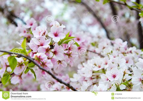flowering cherry blossom tree stock photo image 41362658