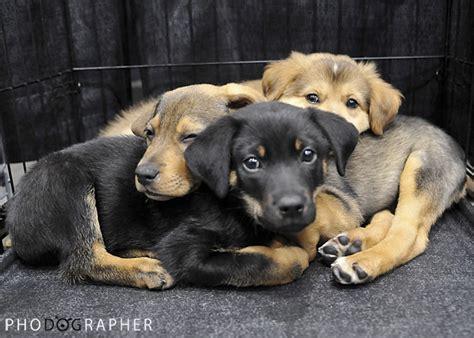 adoption cincinnati dogs in shelters for adoption cincinnati breeds picture