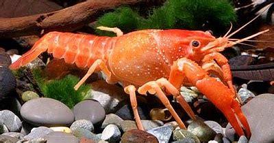 Tempat Penjualan Bibit Lobster Air Tawar cara budidaya lobster air tawar 7 tips cara cepat
