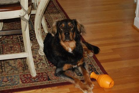 setter and golden retriever mix bandit the gordon setter golden retriever mix allmutt