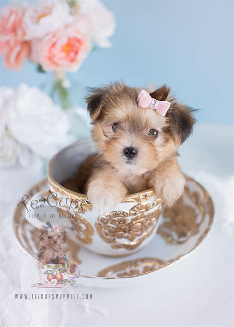 teacup puppies and boutique teacup puppies for sale at teacups puppies and boutique autos post