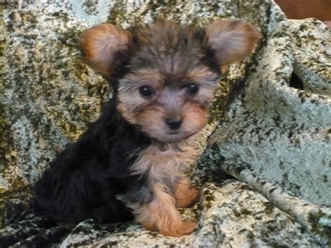 images of yorkie poos yorkie poo puppies