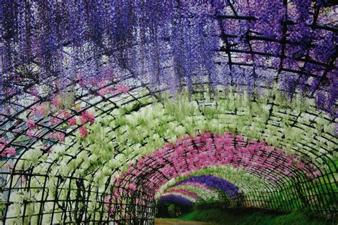 flower tunnel japan wisteria flower tunnel in japan amazing views