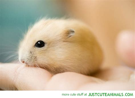 Cute Baby Hamsters   baby hamster rodent fluffy golden