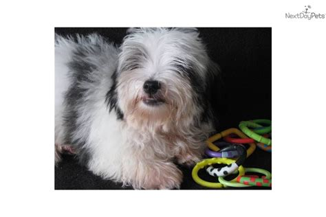 havanese underbite havanese puppy for sale near east tx 5153847b abc1