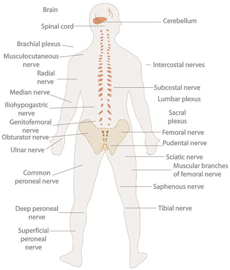 central nervous system diagram introduction to the nervous system boundless anatomy and