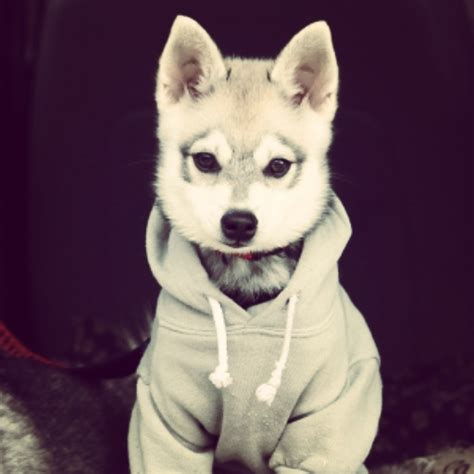 puppies in clothes when your puppy looks better in clothes than you do aww