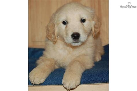 european golden retrievers for sale what is a european golden retriever b s panel what is a european golden