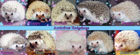 hedgehog colors breeder hedgehog colors fairly normal flamelish