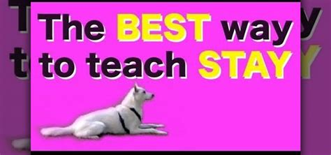 How To Teach Your To Stay The by How To Teach Your To Stay Using The Kikopup Method 171 Dogs