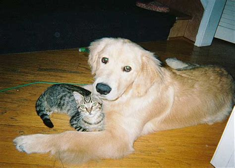 golden retriever and cats breeds that get along with cats pets world