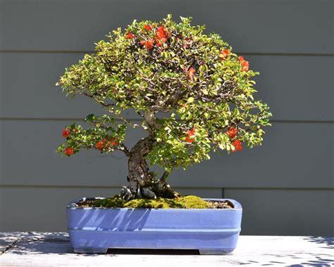 bonsai con fiori bonsai biancospino curare bonsai curare bonsai