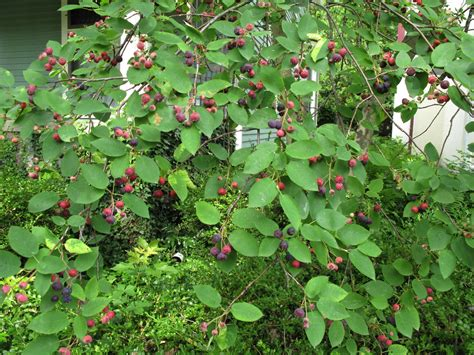 serviceberries or juneberries or sugarplums
