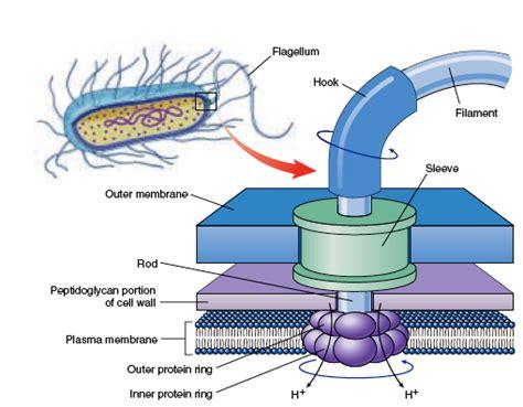 diagram of flagella difference between prokaryotic flagella and eukaryotic