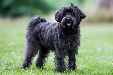 schnauzer poodle lifespan schnoodle breed information buying advice photos and