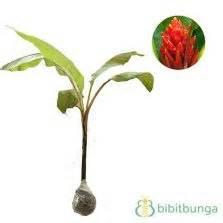 Tanaman Hias Pisang Songgo Langit tanaman drimiopsis kirkii squill bibitbunga