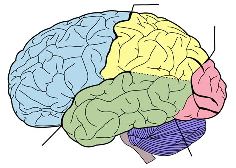 search results for printable diagram of the brain