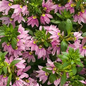 Gardening Growing Zones - pink wonder 174 fan flower scaevola aemula proven winners