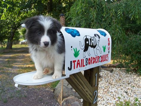 border collie puppies for sale ny border collie puppies for sale from j border collies quot bettering the breed one