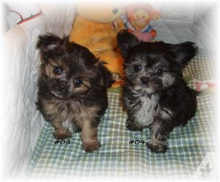 yorkie poo puppies mn yorkie poo puppy terrier x poodle for sale in janesville minnesota