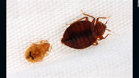 bed bugs color bedbugs have favorite colors too study finds cnn