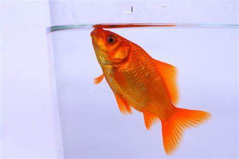 St Kd Boy Goldfish signs of overfeeding goldfish pets