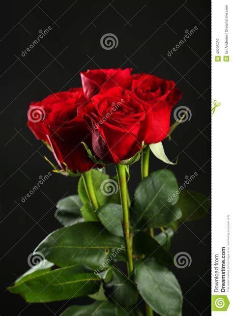 imagenes de rosas rojas frescas rosas rojas frescas en el fondo negro fotos de stock