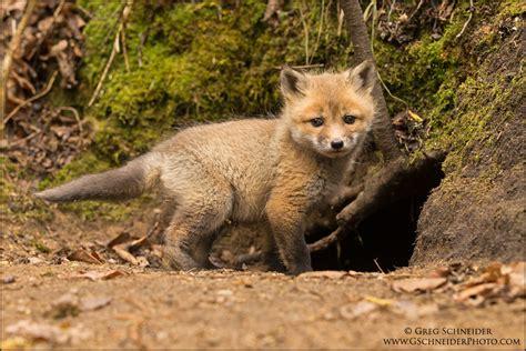 Red Fox kit at den