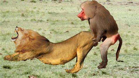 baboon attack lion crocodile  leopard  tiger lions  crocodile lion attack vicious dog ne