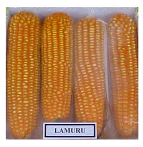 Benih Jagung Dk 95 harga jagung bns indonesia benih jagung varietas lamuru