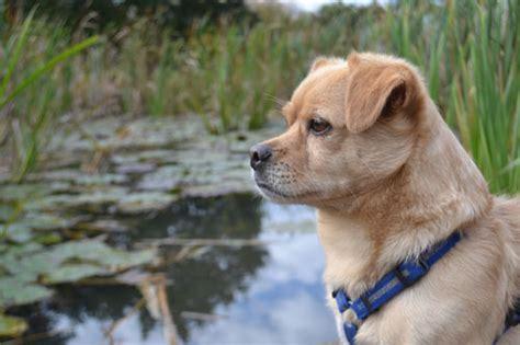 cairn terrier golden retriever mix maxi dackel golden retriever terrier mops pekinese terrier