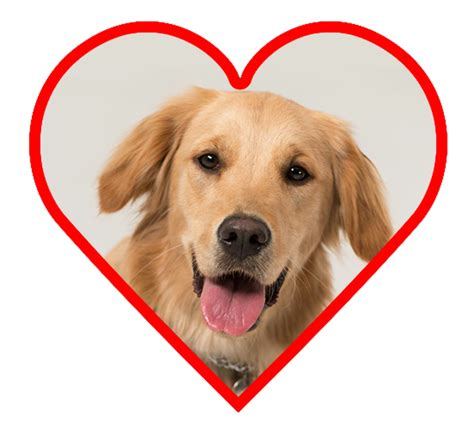 why are golden retrievers so friendly 7 best breeds if you are fighting depression talent hounds