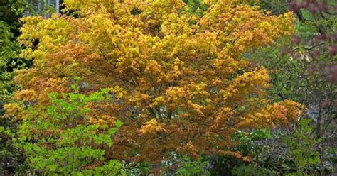 Maple Garden Great Falls by Katsura Gardens Name S And Author S Acer Palmatum