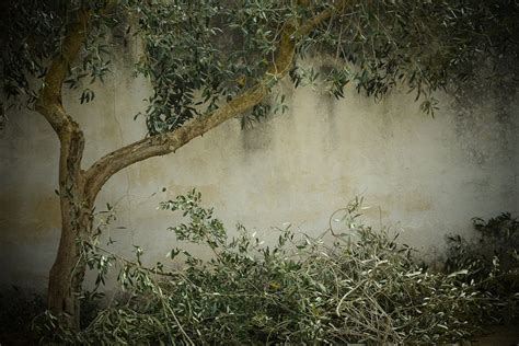 olive tree wallpaper free photo olive tree nostalgia background free image