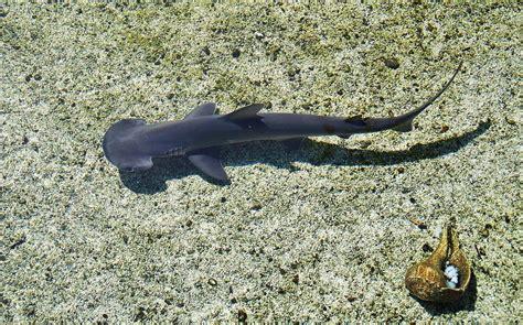 baby shark metal baby hammerhead shark photograph by debra farrey